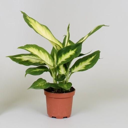 Dieffenbachia 'Camilla' (Groot BV, Kwekerij J. de )