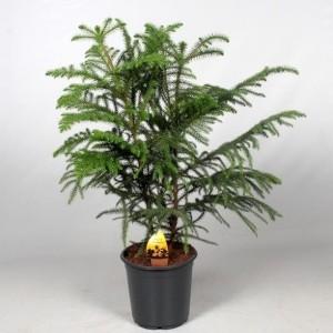 Araucaria heterophylla (JoGrow B.V.)
