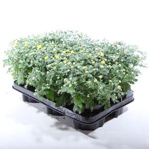 Chrysanthemum PARADISO MIX