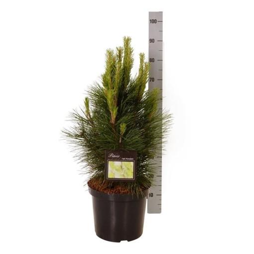 Pinus nigra 'Pyramidalis' (Boomkamp Boomkwekerijen B.V.)