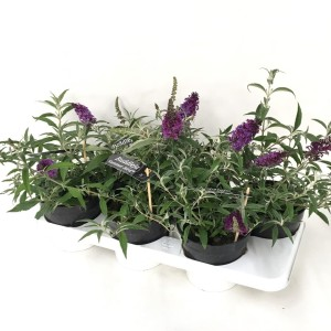 Buddleja SUMMER BIRD VIOLET