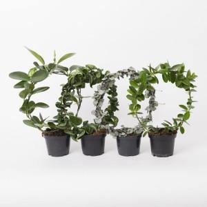 Hoya australis MIX
