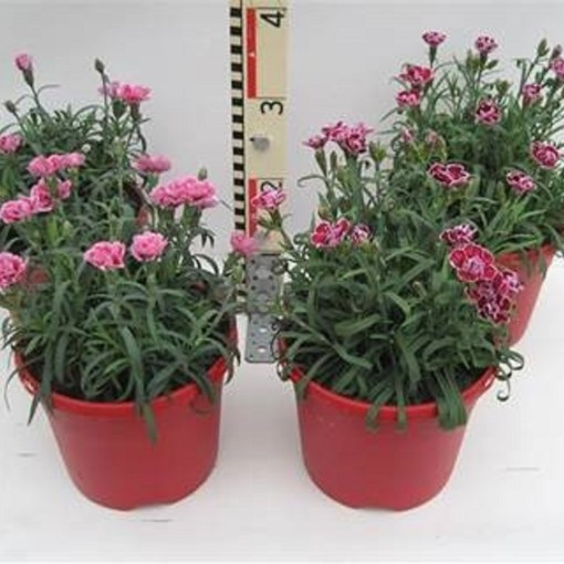 Dianthus CAPITAN MIX (Experts in Green)