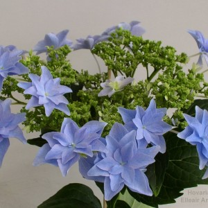 Hydrangea macrophylla 'Elleair Anniversary'
