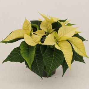 Euphorbia pulcherrima CHRISTMAS FEELINGS PEARL (Bas van der Wilt)
