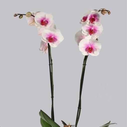 Phalaenopsis MOUNTION (Duijn-Hove B.V. , Kwekerij)
