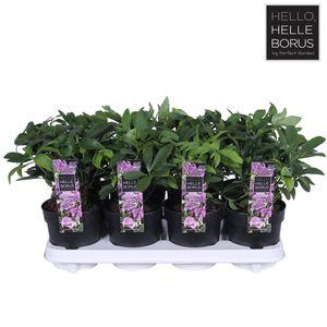 Helleborus orientalis 'Hello Pink'