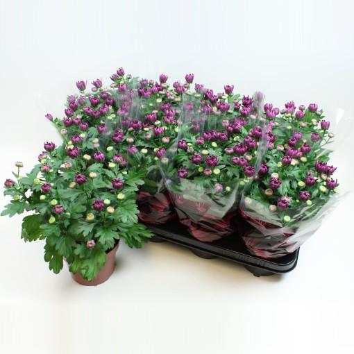 Chrysanthemum BREEZE ROSY (Gebr Nederpel Potplanten)