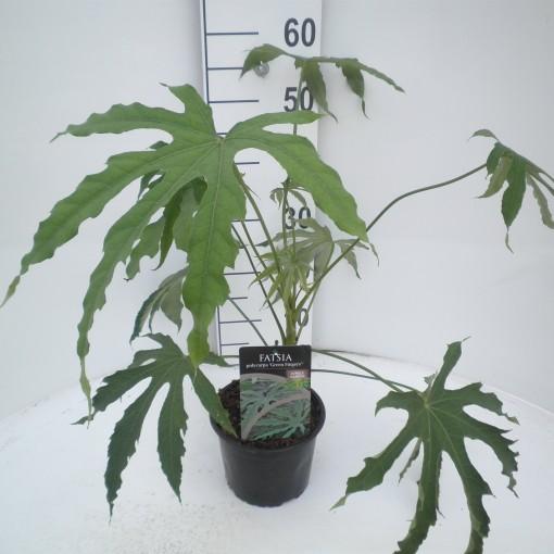 Fatsia polycarpa 'Green Fingers' (Huisman Boomkwekerij BV)