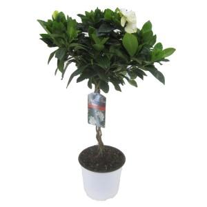 Gardenia jasminoides (Luiten kwekerij)