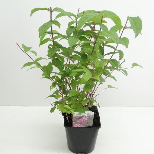 Deutzia x hybrida 'Strawberry Fields' (Hooftman boomkwekerij)