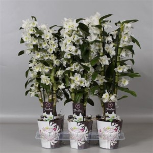 Dendrobium nobile STAR CLASS APOLLON (De Hoog Orchids)