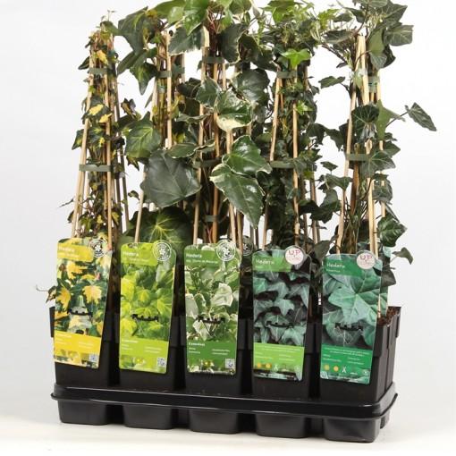 Hedera MIX (Hoogeveen Plants)