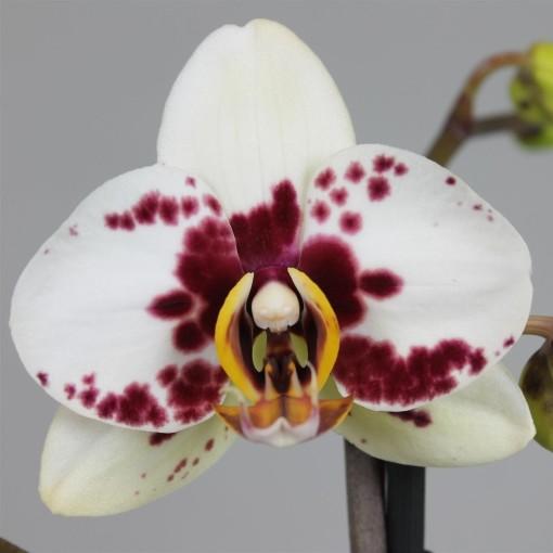 Phalaenopsis GOOD TIMES (Leerdam Orchideeën)