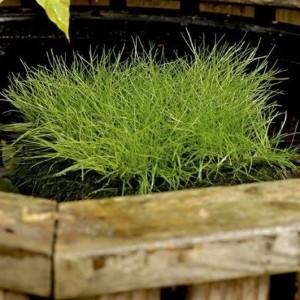 Scirpus isolepsis (Moerings Waterplanten)
