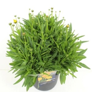 Coreopsis grandiflora 'Early Sunrise' (Kwekerij de Noordpoel)