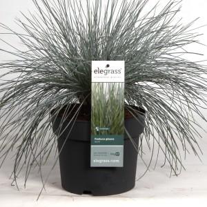 Festuca glauca 'Azurit' (Hoogeveen Plants)