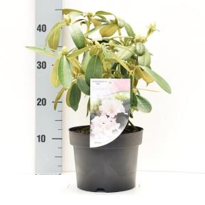 Rhododendron 'Schneekrone' (Dool Botanic)