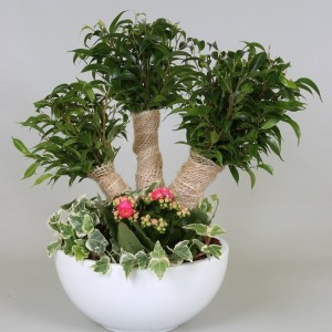 Arrangements Ficus