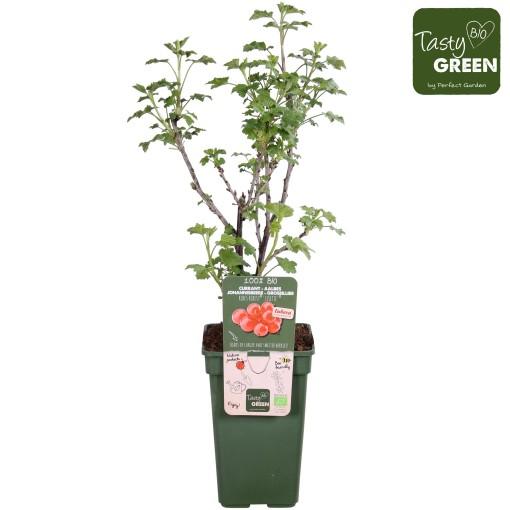 Ribes rubrum RIBEST LISETTE (Hoogeveen Plants)