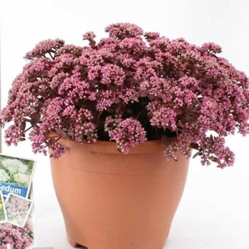 Sedum SUNSPARKLER DAZZLEBERRY (About Plants Zundert BV)