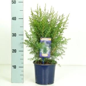 Juniperus communis 'Hibernica' (Kwekerij Vredebest)