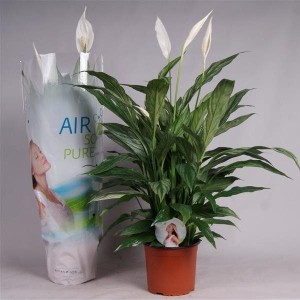 Spathiphyllum SILVER CUPIDO