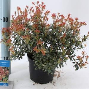 Pieris japonica 'Little Heath' (About Plants Zundert BV)