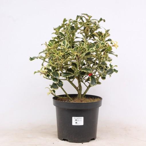 Ilex aquifolium 'Argentea Marginata' (Vredebest, Kwekerij)