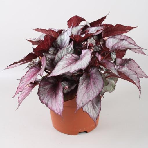 Begonia BELEAF MAORI HAZE (Berghoef Plants)