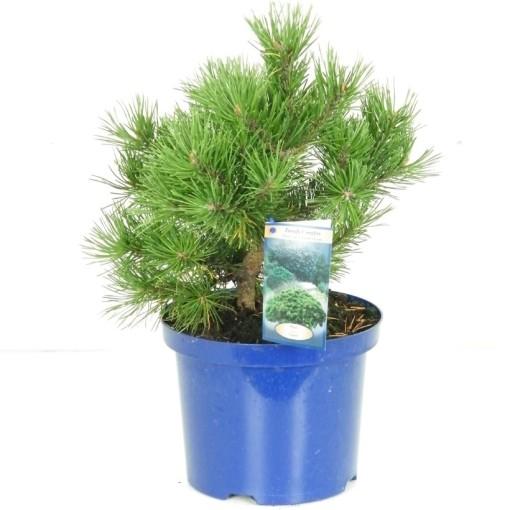 Pinus mugo 'Gnom' (Vredebest, Kwekerij )