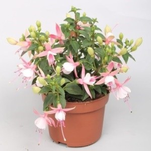 Fuchsia BELLA FUCHSIA SOPHIA