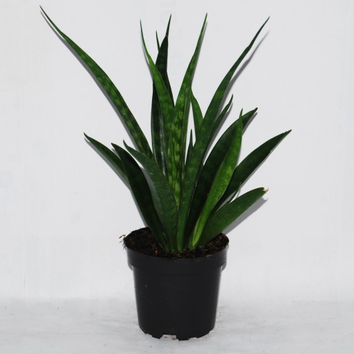 Sansevieria kirkii FRIENDS (Van der Arend Tropical Plantcenter)
