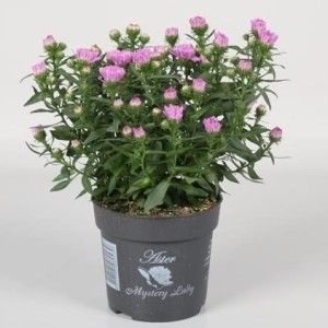 Aster MYSTERY LADY BRIGITTE (Endhoven Flowering Plants)