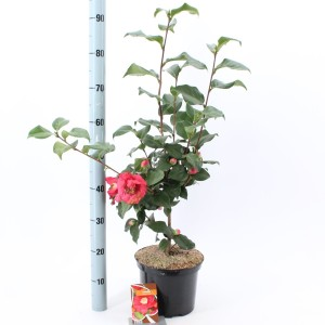 Camellia japonica 'Dr King' (About Plants Zundert BV)