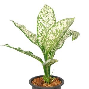Dieffenbachia 'White Etna'