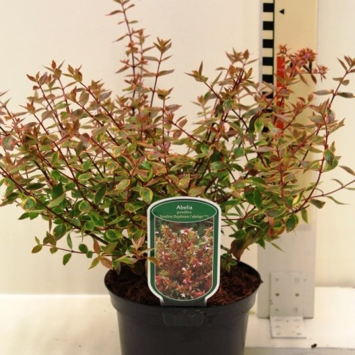 Abelia x grandiflora SUNSHINE DAYDREAM (CPB Sales)