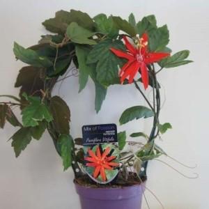 Passiflora vitifolia (Plantcare BVBA)