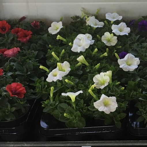 Petunia MIX (Sonneveld Plants)
