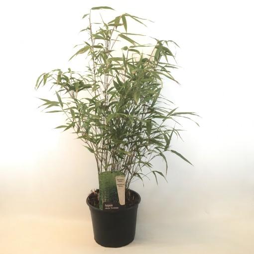 Fargesia robusta 'Formidable' (Oprins Plant)