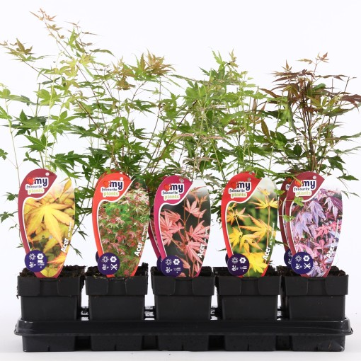 Acer palmatum MIX (Ronald Roos B.V., Boomkwekerij)