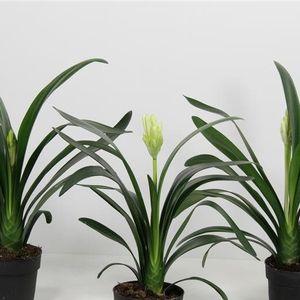 Clivia STRONG MIX (FlorAmor)