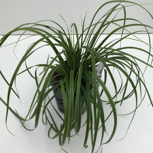 Carex oshimensis EVERCOLOR EVERLIME (Cammeraat Potcultuur)