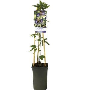 Passiflora caerulea (Van Der Starre BV)