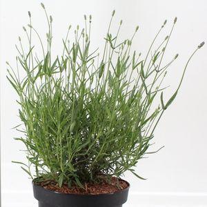 Lavandula angustifolia 'Hidcote' (About Plants Zundert BV)