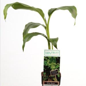 Musa basjoo (Hoogeveen Plants)