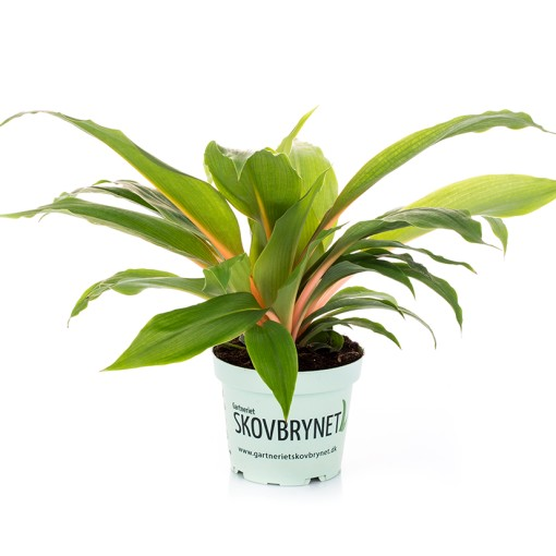 Chlorophytum orchidastrum 'Fire Flash' (Gasa DK)