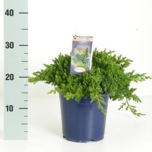 Juniperus procumbens 'Nana' (Kwekerij Vredebest)