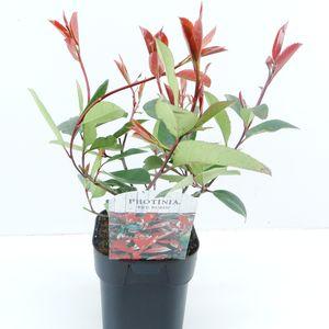 Photinia x fraseri 'Red Robin' (Hooftman boomkwekerij)
