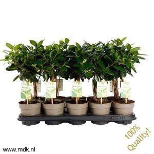 Ficus 'Maya'